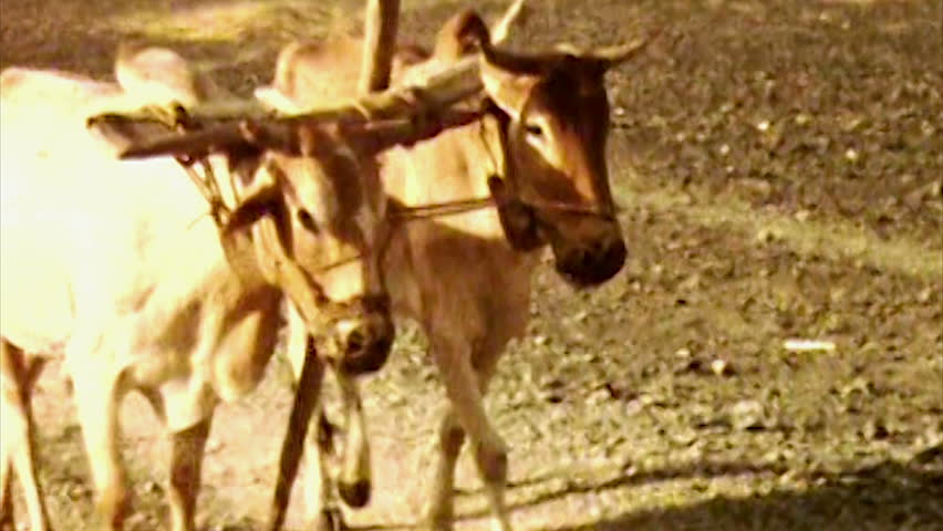 ADEN, CIRCA 1960: Aden Protectorate cattle yoke team vintage HD. British Aden Protectorate in southern Arabia.  One of a kind private owned vintage and historic 8mm film. part of Republic of Yemen.