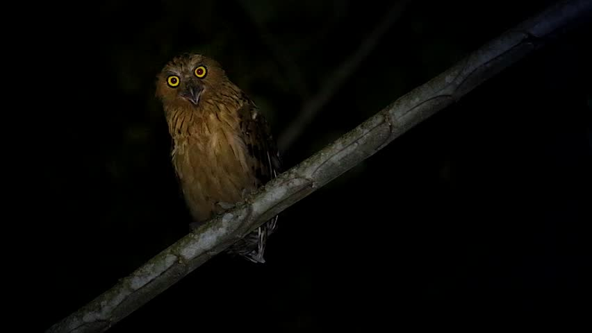 Buffy or Malay Fish Owl (Bubo ketupu) calls (screeches & screams) at night in the jungles of Borneo. Beautiful adult searches the night for prey, hunting with big and bright yellow eyes. Scary shriek.