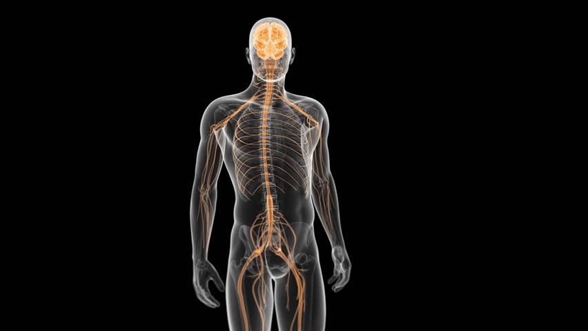 Brain Anatomy Animation 9806059 Follow4morefo