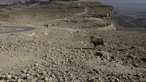 The wild goat - Carpa aegagrus (male) at the Mizpe-Ramon, Israel