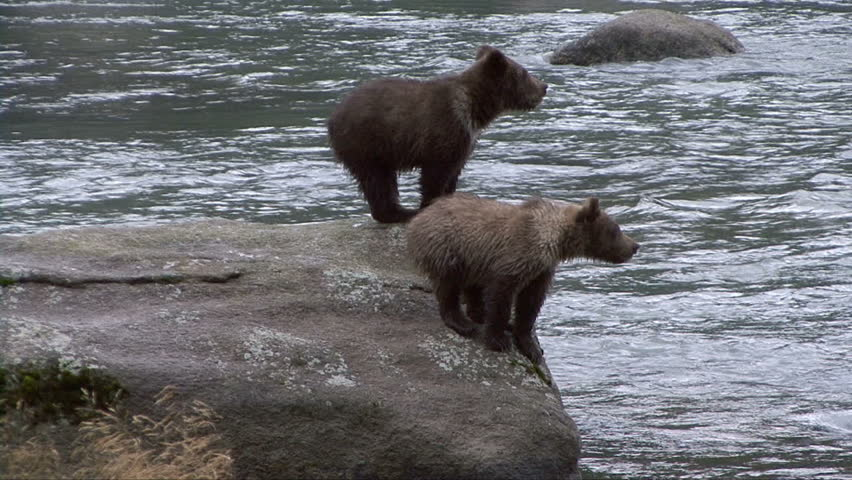 Brown bear cubs cry for mother from large rock in Chilkoot River