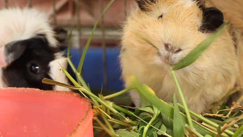 guinea pig eat the grass
