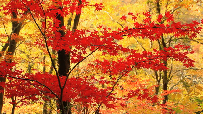 Autumn red maple leaves with yellow foliage in the background. #5139026