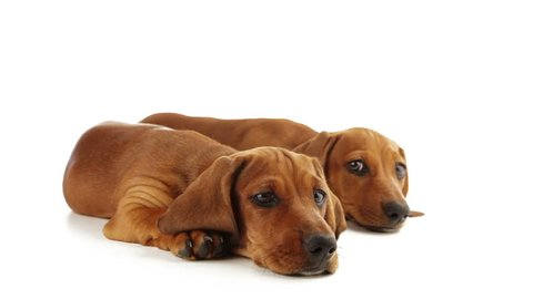 Two dachshund puppy are looking ahead