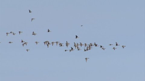Hundreds of White-fronted and Red-breasted geese flying out. Geese fly over a lake in the morning. Taken at Durankulak lake and Shabla lakes, Bulgaria.