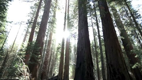 Sunlight streaming through impressive giant redwood trees in Yosemite National Park, California.