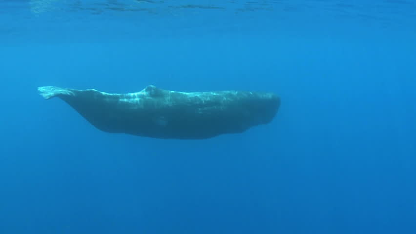 juvenal sperm whale swimming - underwater shot Physeter macrocephalus Azores Island, Pico, Atlantic ocean