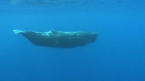 juvenal sperm whale swimming - underwater shot Physeter macrocephalus Azores Island, Pico, Atlantic ocean