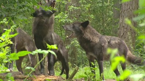 Pack of wolves howling (incl. sound) - low angle. Wolves  (Canis lupus) communicate with each other using scents and howling.