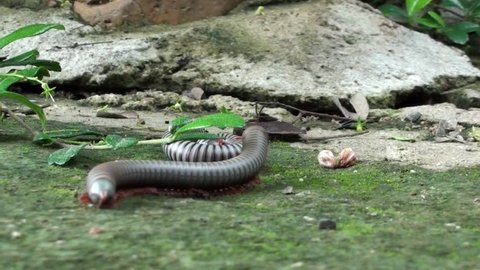 Two Millipedes (order Spirobolida) panic and have a short tussel. Taken in Thailand. Phylum: Arthropoda Subphylum: Myriapoda Class: Diplopoda Order: Spirobolida.