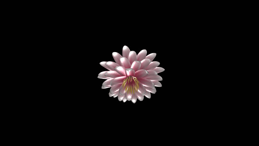 Pink and White Lotus Flower - Rotating Close Loop - Alpha Channel