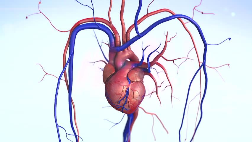 heart, Heart model w/clipping path, Human heart model, Full clipping path included, Human heart for medical study, Human Heart Anatomy - HD stock footage clip