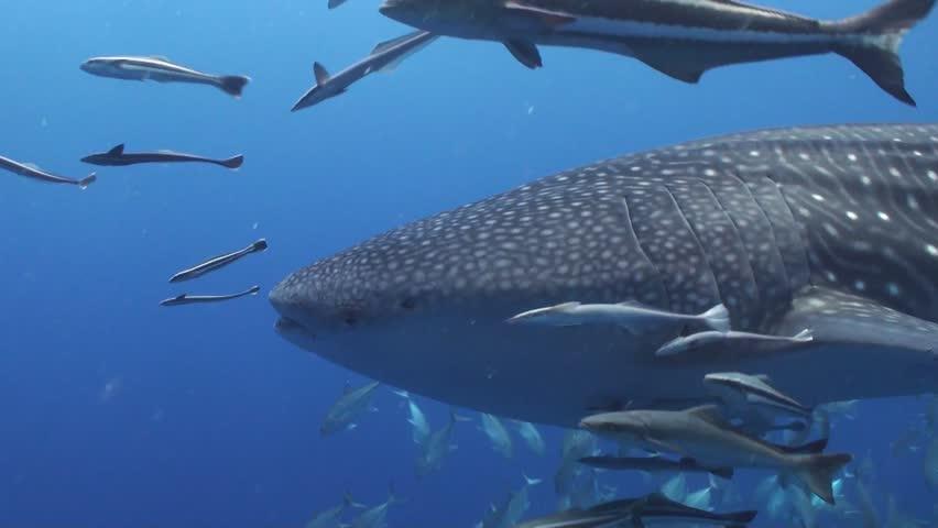 Whale shark | Shutterstock HD Video #5405141