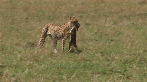 side view of a cheetah walking with a kill in the mouth