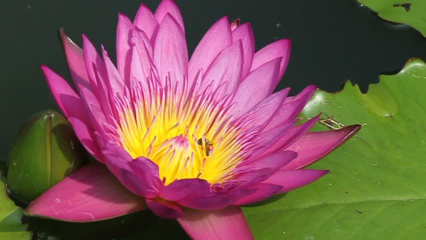 Bee In Lotus Flower Stock Footage Video 100 Royalty Free