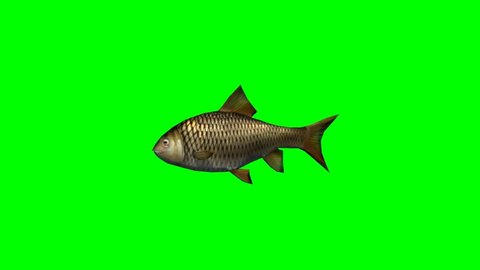 carp fish swimming fast - seperated on green screen