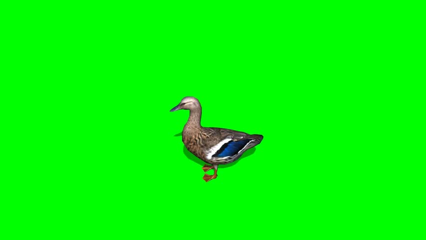 Duck Female - seperated on green screen #5427911