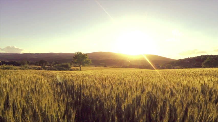 aerial flight over the wheat field in sunset stock
