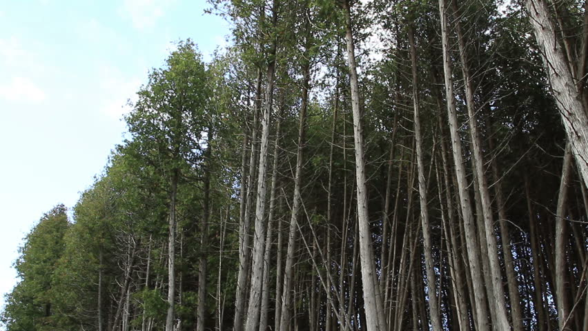 Tall skinny trees in the forest. | Shutterstock HD Video #5572091