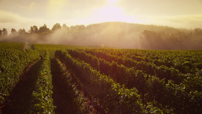 Beautiful vineyard at sunrise, time lapse. Shot on RED EPIC for high quality 4K, UHD, Ultra HD resolution.