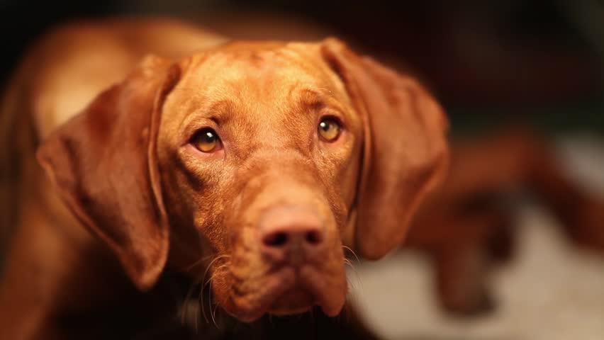 Tired hungarian vizsla dog at midnight