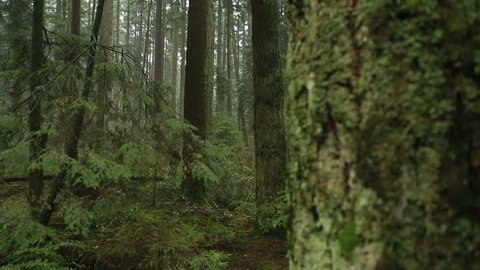 Fir Trees, Rainforest Camera Move. A camera dolly move past a tree in a temperate rainforest of the Pacific Northwest.