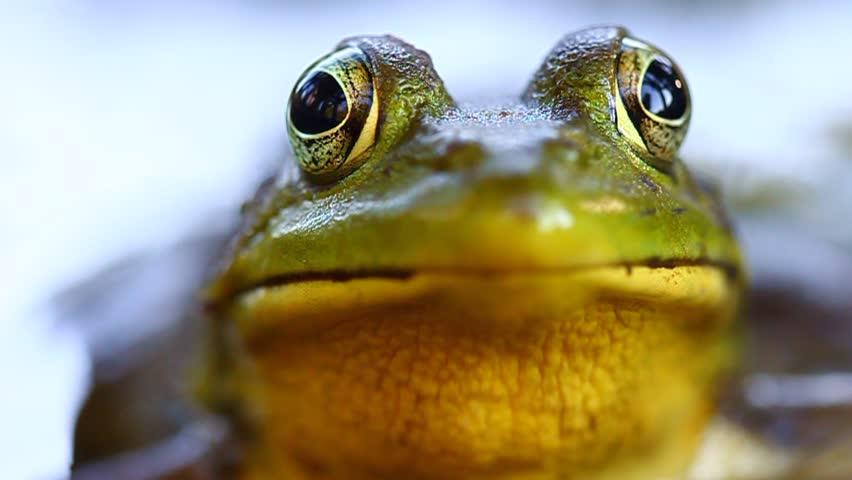 Green Frog (Rana clamitans) | Shutterstock HD Video #5651291