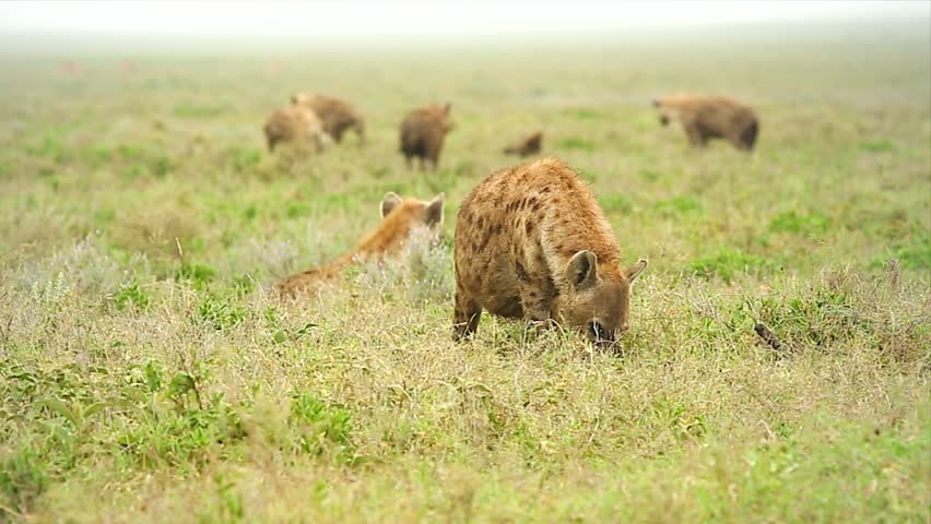 WILD Spotted Hyenas (Crocuta crocuta), also known as the Laughing Hyena or Tiger Wolf, scavenge an animal carcass in the Serengeti, Tanzania, Africa. Notice hyenas fighting over carcass in background.