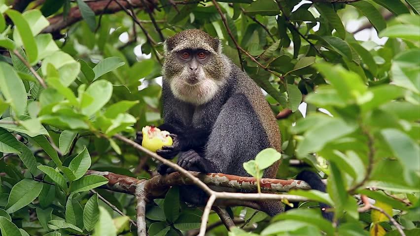 Blue or Diademed Monkey (Cercopithecus mitts) in a tree eating fruit in Jozani Forest on island of Zanzibar (Tanzania, Africa). Subspecies is Zanzibar Sykes's Monkey (C. m albogularis).