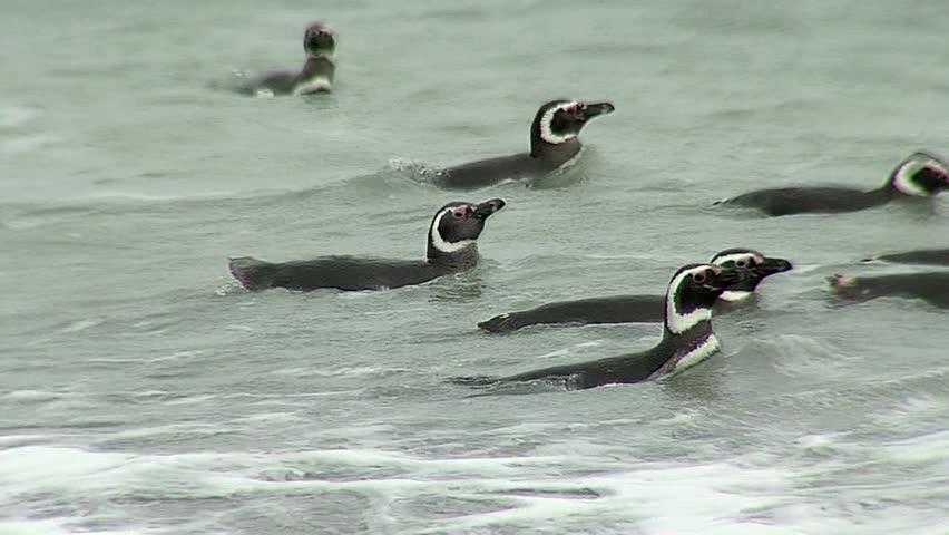 Magellanic penguin swimming