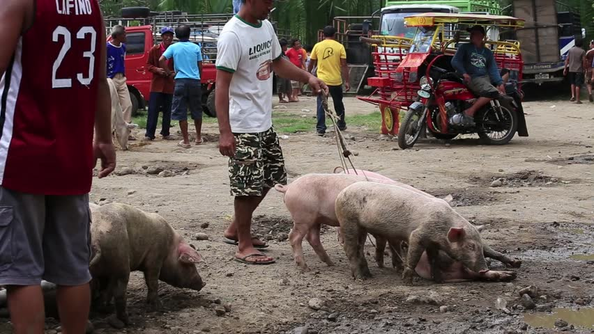 pig buyers in india