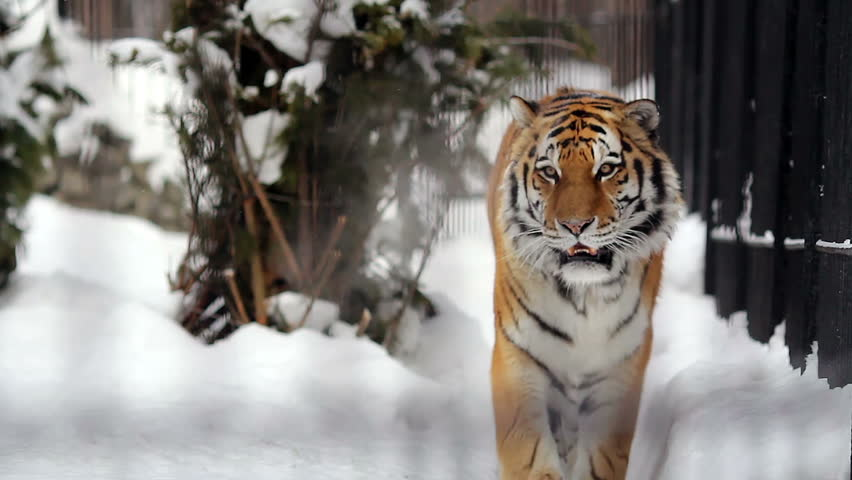 Portrait of Amur tiger walking around the cage in the winter, Novosibirsk, Russia  #5807672