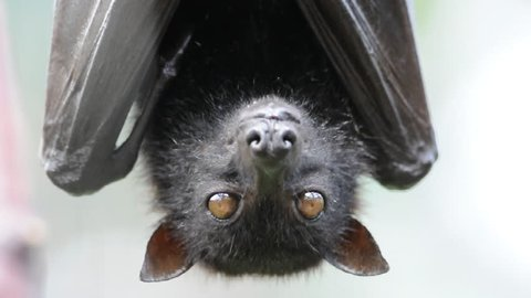 Head Closeup of a Flying Fox, a huge bat