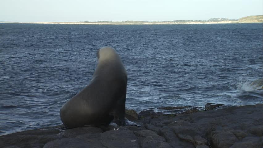 Australian Sea Lion sliding into the water #5833451