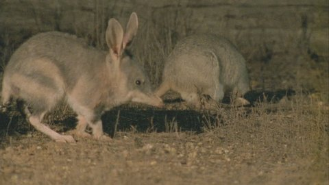 Bilby and Burrowing Bettong in the dirt