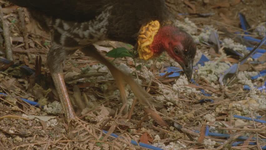 turkey scratching at bowerbirds bower