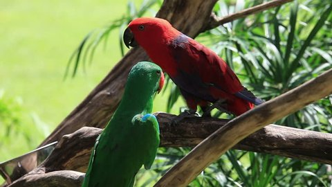 Eclectus Parrot animal birds (Eclectus roratus), colorful pair of wild tropical parrots in red, green, blue colors - male and female perching a branch, pets at Bali island, beautiful nature background