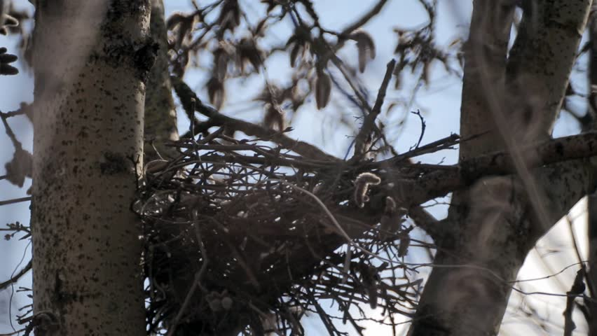 Crow bird nest