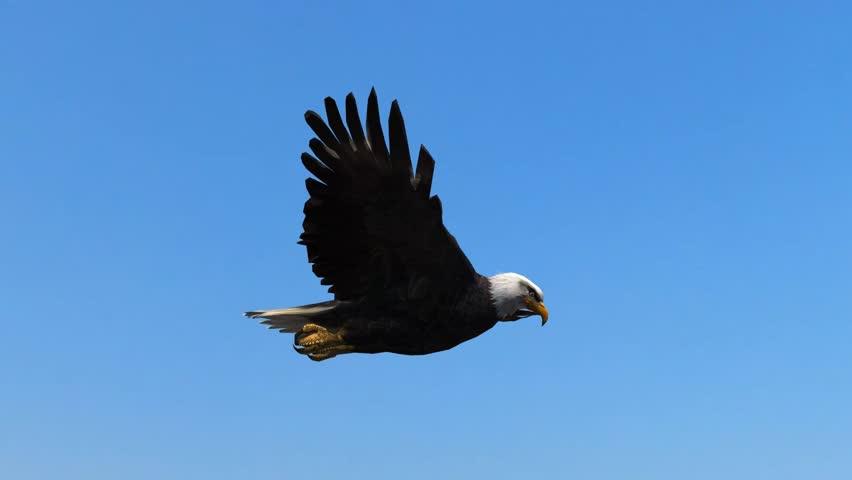 Bald Eagle Flight Close-Up tracking shot #5993261