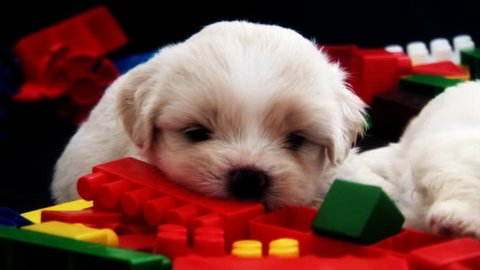 Cute Fluffy Puppy Chewing A Toy Brick