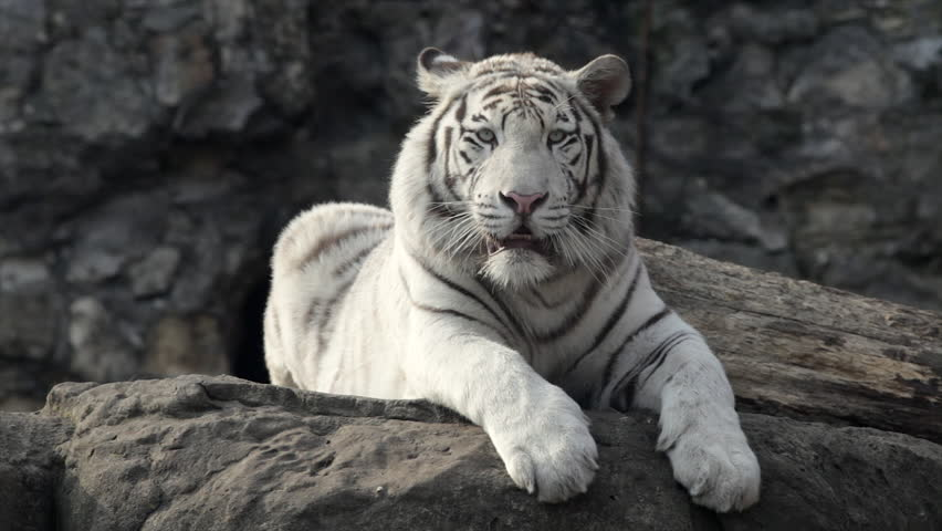 A young bengal tiger male lying and looking back the most following stare of a young white bengal tiger lying on the rock attention in voltagebd Image collections