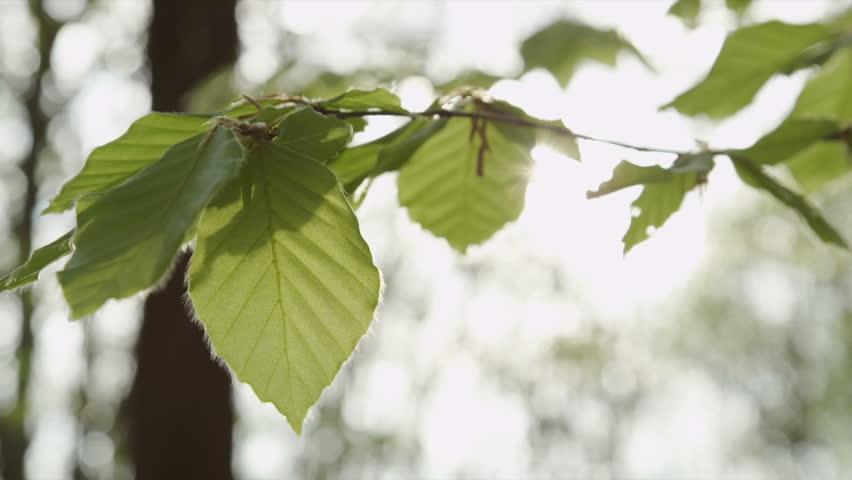 SLOW MOTION: Sun shining through lush leaves in spring