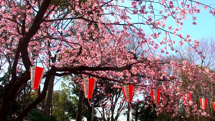 Japanese cherry blossom festival 2015 date