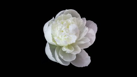 Timelapse of white peony flower blooming on black background in 4K