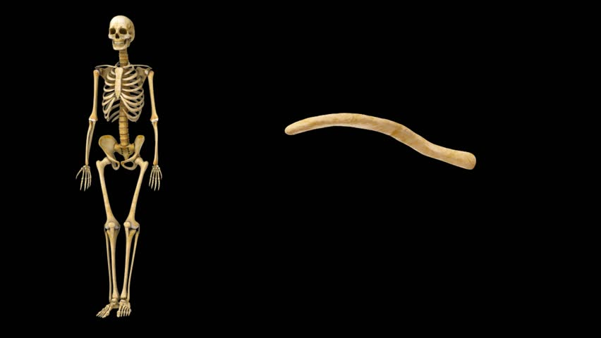 Header of clavicle
