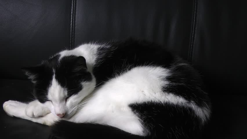 Cute Black And White Cat Sleeping On Leather Couch, Circa April 2014   HD  Stock