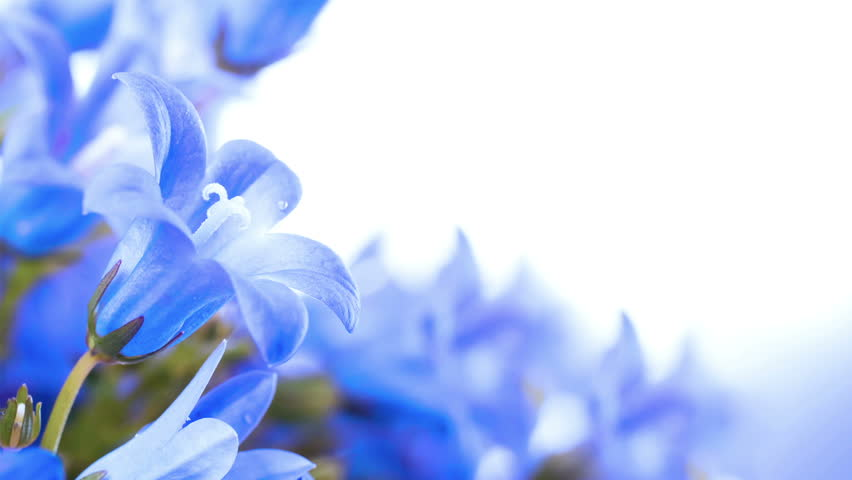 Blue And White Flower Wallpaper: Flowers On A White Background, Dark Blue Hand Bells And