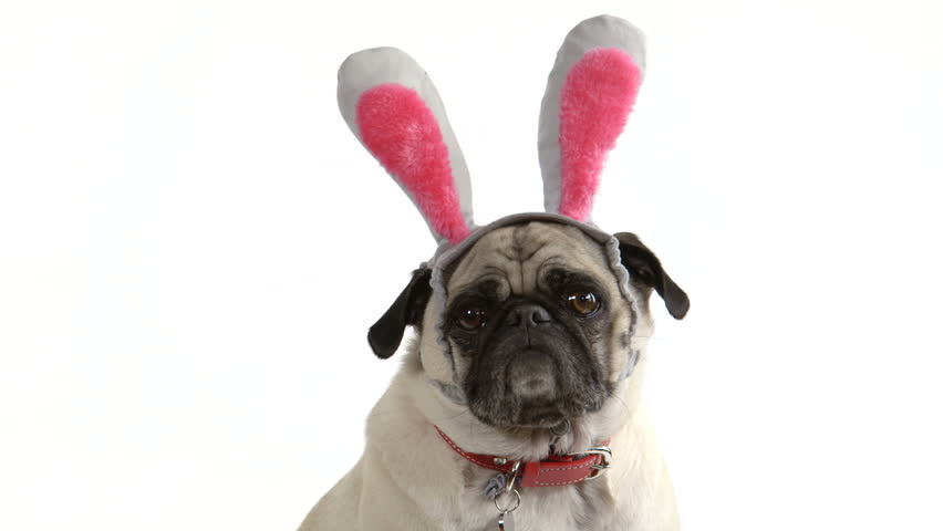 Two shots (one wide, one close-up) of a cute pug dog wearing Easter bunny ears