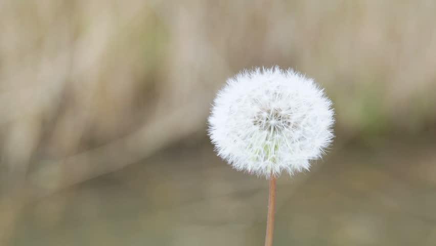 Mature dandelion blow away on brown background