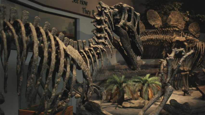 Medium Shot Pan Dinosaur's skeletons in natural history museum